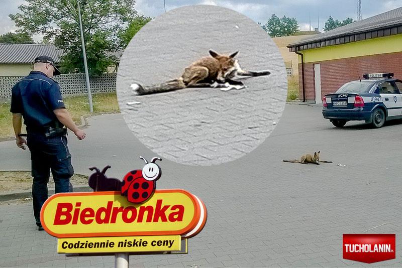 Lis kupuje w Biedronce Tuchola 16.07.2014