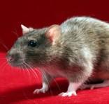 szczur fot. freeimages.com