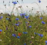 Łąki kwietne w Tucholi-1
